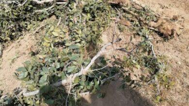 صورة تفاعلًا مع حملة المسح الشامل لأشجار #البُن .. شيخ يافعي يقتلع شجرة #القات من أكبر أراضيه الزراعية