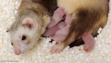 صورة استنساخ أول حيوان مهدد بالانقراض بأميركا
